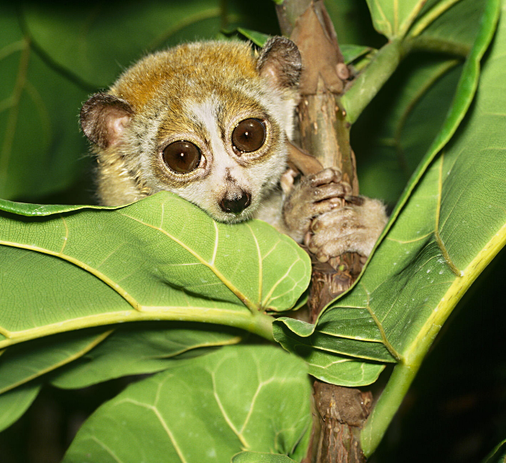 Photo Common potto | Hobby Keeper Articles